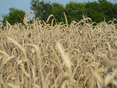 Présentation blé sentimancho